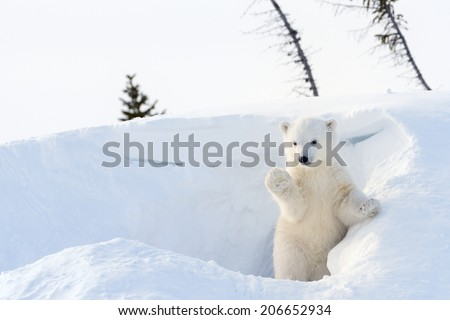 Polar Bear (Ursus maritimus) cub coming out den and playing around, Wapusk national park, Canada. Royalty-Free Stock Photo #206652934