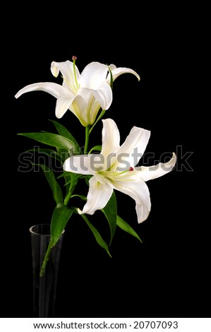 White lily isolated on black background #20707093
