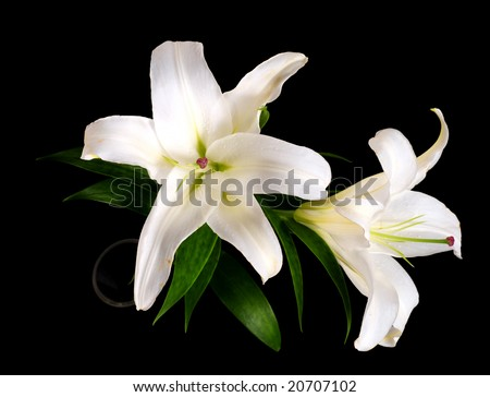 White lily isolated on black background #20707102