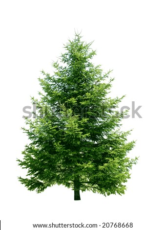 Fresh pine tree isolated on white background #20768668