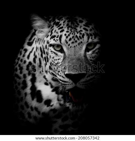close up Leopard Portrait Royalty-Free Stock Photo #208057342