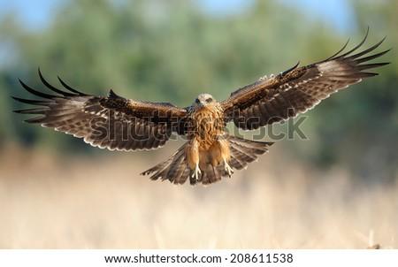 Black Kite on landing #208611538
