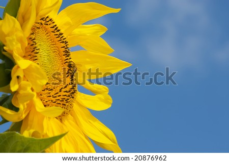 Beautiful sunflower with honeybee isolated naturally on blue sky #20876962