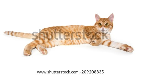 Red tabby cat isolated on white background #209208835