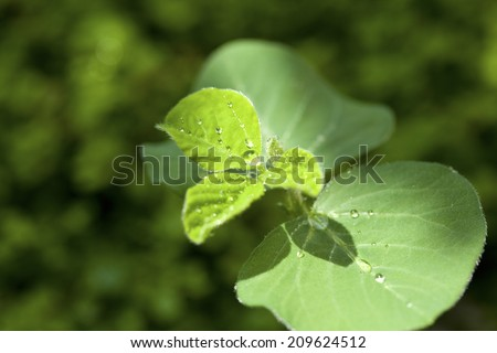 An Image of Sprout Of Soybean #209624512