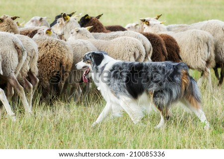 Purebred border collie herding a flock of sheep on a summer day. #210085336