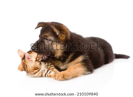german shepherd puppy dog biting bengal cat. isolated on white background #210109840
