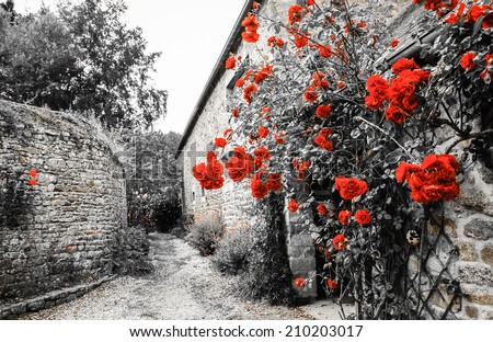 Red roses bushes near old rural house. Brittany, France. Vacation at countryside background. Aged photo.