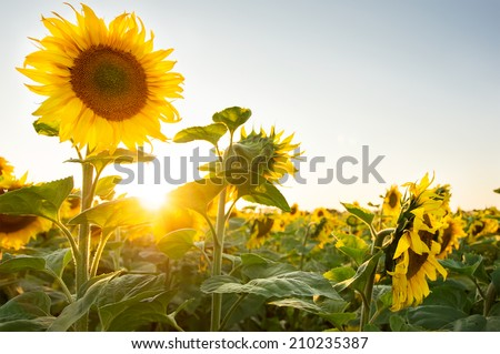 Sunflower field #210235387