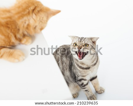 closeup of two cats in a conflict over  white background #210239635