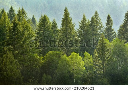 Forrest of green pine trees on mountainside with rain Royalty-Free Stock Photo #210284521