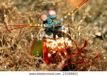 Mantis Shrimp (Odontodactylus scyllarus) coming and defending their hole #21028861
