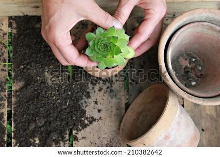 Houseleek, Woman planting houseleek in ceramic flowerpot #210382642