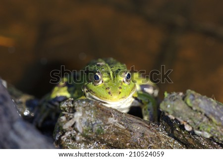Head of green water frog (Rana lessonae), close up, selective focus #210524059