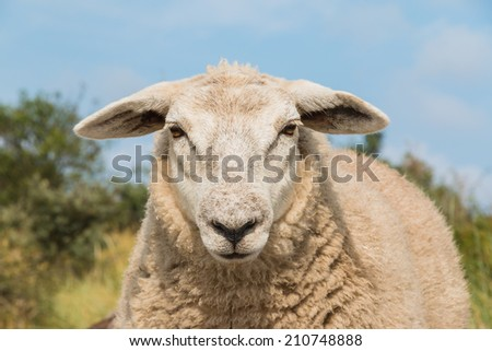 An up close view of a sheep head. The animal is just staring back. #210748888