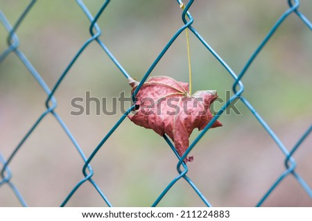 maple leaf caught in a mesh wire fence #211224883