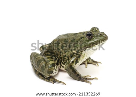 dark green spotted frog on white background  #211352269