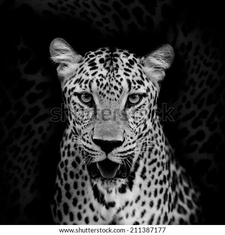 Leopard portrait #211387177