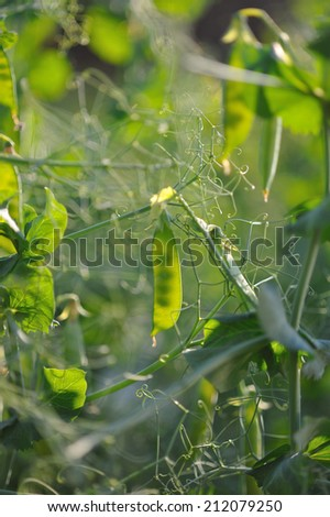 Close up of fresh green pea pods. #212079250
