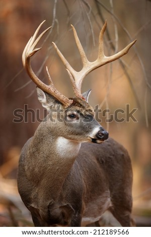 A portrait of a wild white-tailed deer buck in the forest. #212189566