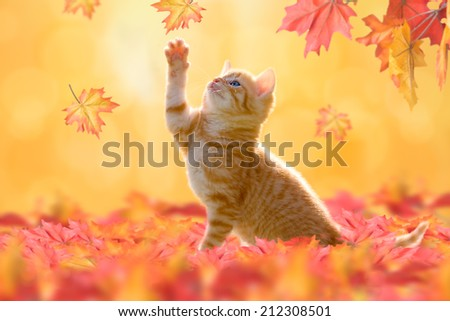 Young cat with blue eyes, playing in autumn leaves #212308501