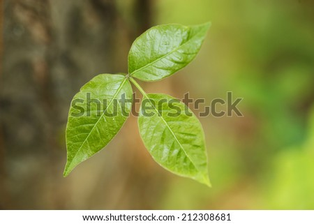 Wild growing poison ivy