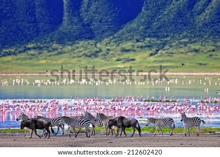 Zebras and wildebeests walking beside the lake in the Ngorongoro Crater, Tanzania, flamingos in the background