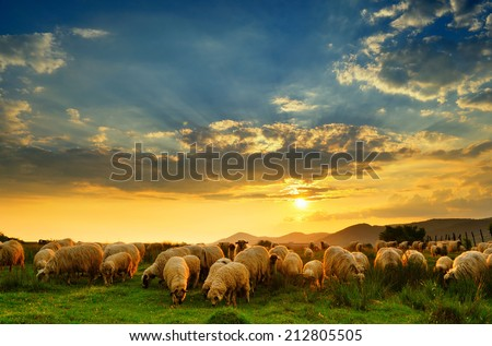 Flock of sheep grazing in a hill at sunset.  #212805505