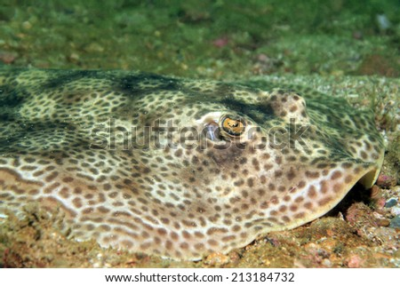 Close-up of a Round Stingray (Urolophus Halleri?? aka Hallers Round Ray), Catalina Islands, Costa Rica