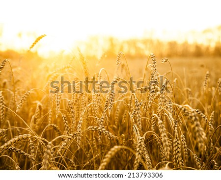 backdrop of ripening ears of yellow wheat field on the sunset cloudy orange sky background Copy space of the setting sun rays on horizon in rural meadow Close up nature photo Idea of a rich harvest #213793306
