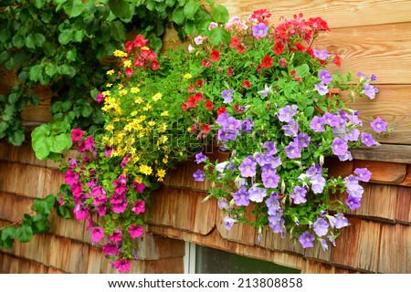 vibrant multicolored petunias hanging outside of wooden house #213808858