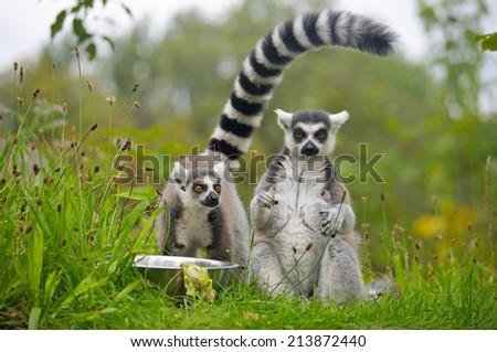 Ring-tailed lemur #213872440