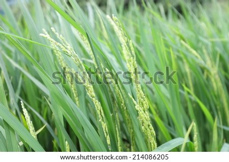 rice stalks in a field bending in the wind #214086205