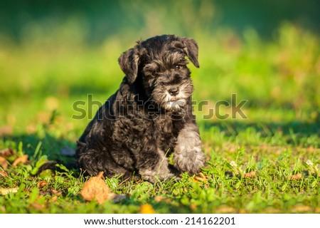 Miniature schnauzer puppy #214162201