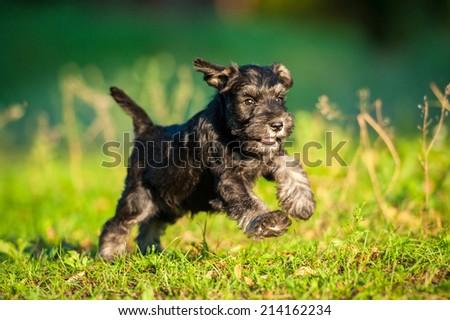 Miniature schnauzer puppy running #214162234