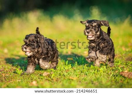 Two miniature schnauzer puppies running #214246651