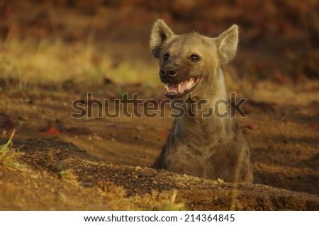 spotted  hyena (Crocuta crocuta) #214364845