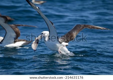 Shy Albatross (Diomedia cauta) feeding on bycatch from a longline trawler off Cape Town, South Africa #214631176