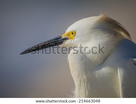 Profile of face of snowy white egret #214663048