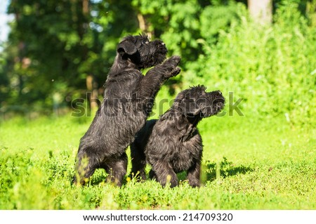 Two giant schnauzer puppies playing outdoors #214709320