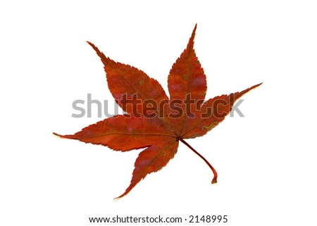 Maple leaf in autumn isolated on white background. #2148995