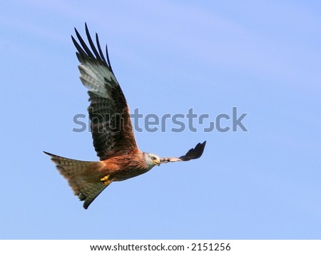 Red Kite Eagle in flight. #2151256