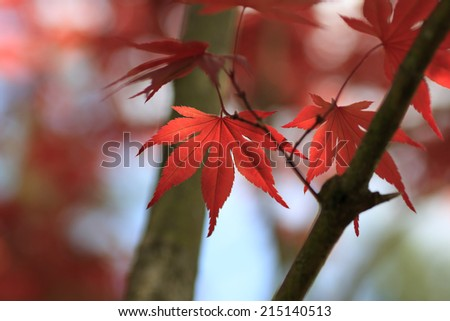 Red maple leaf close up #215140513