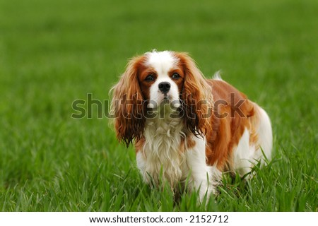 White and red cavalier king charles spaniel in grass #2152712