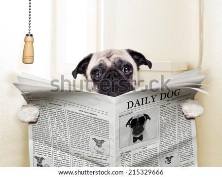 pug dog sitting on toilet and reading magazine having a break #215329666
