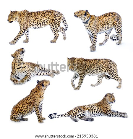 Leopard in the studio on a white background. Young leopard