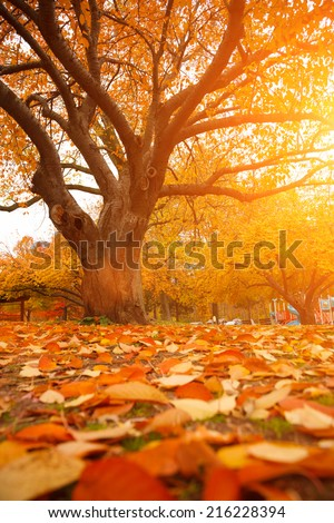 Autumn tree in park with colorful fall leaves  #216228394