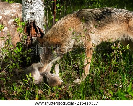 Grey Wolf (Canis lupus) Rolls Pup - captive animals #216418357