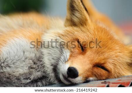 Sleeping Red Fox (Vulpes Vulpes ) in Hokkaido, Japan
