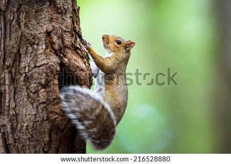 Eastern Grey Squirrel (Sciurus carolinensis) #216528880